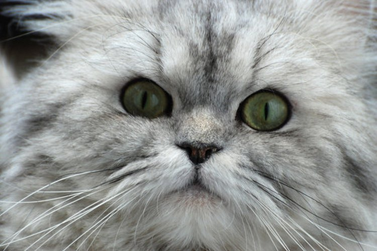 Los gatos pueden ser alérgicos a la saliva de las pulgas.