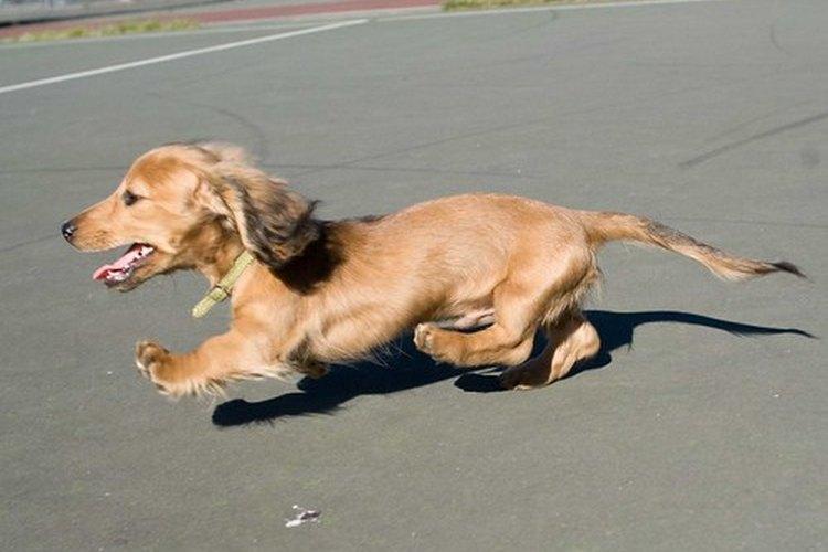 Un perro que es chocado por un auto presentará normalmente lesiones de patas nerviosas.