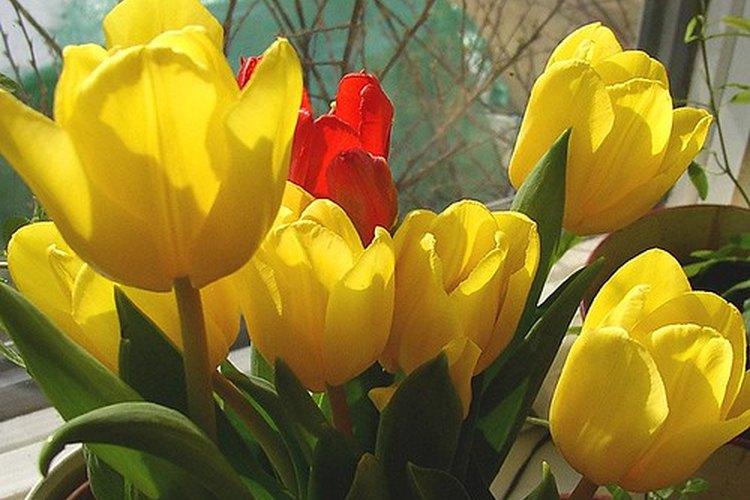 Los tulipanes pertenecen a la familia de las plantas liliáceas.