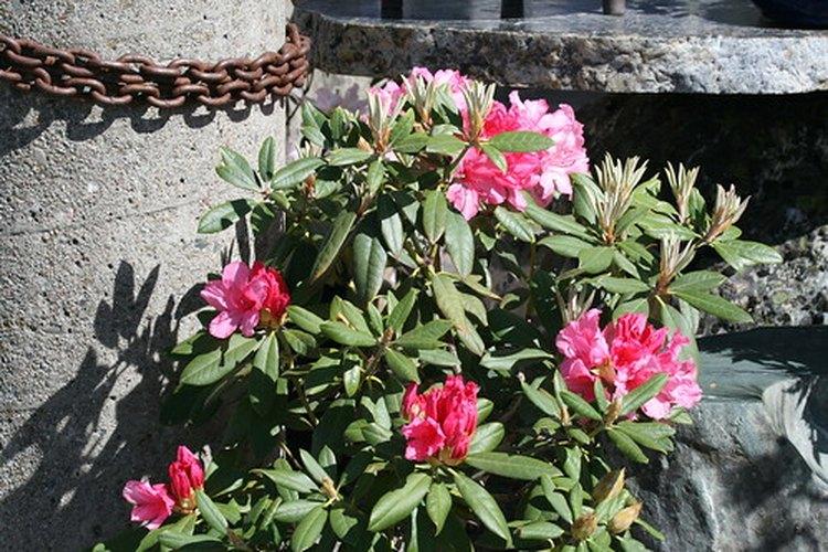 Floraciones rosadas claras y oscuras.