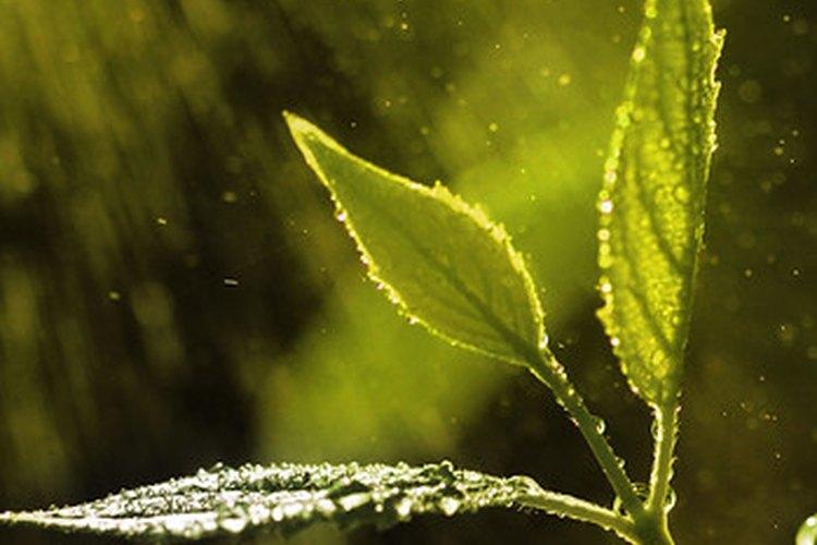 Esta planta no identificada es un ejemplo de hojas en punta en una planta que no es de marihuana.