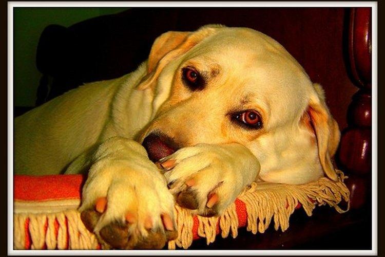 El aceite de linaza es bueno para el pelaje de los perros.