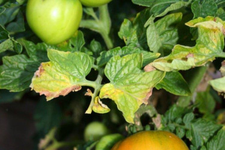 Comprueba las hojas de la tomatera.