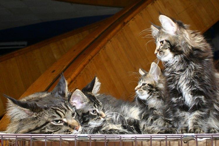 Las gatas suelen estar embarazadas entre 57 y 70 días.