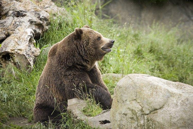 Los Plotts pueden rastrear y arrinconar a sus presas para cazar animales grandes.