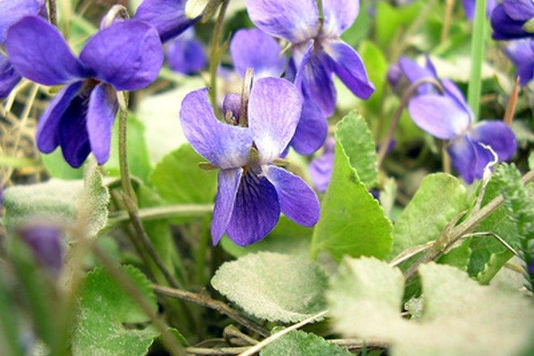 Las violetas han tenido un significado para nosotros a lo largo de la historia.