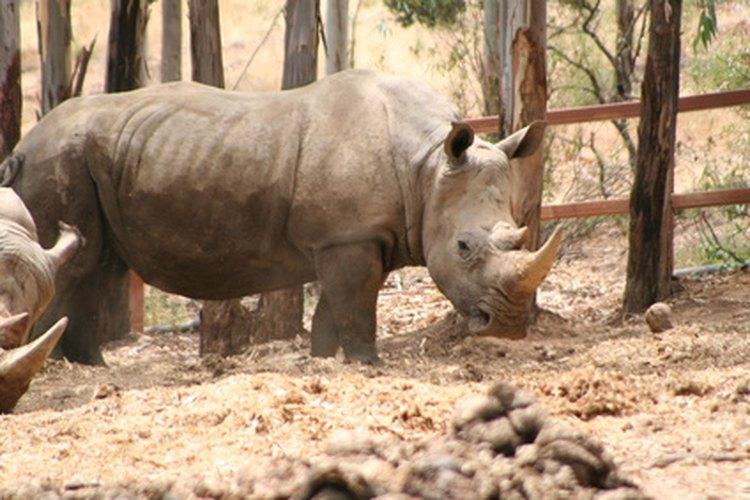 Los rinocerontes están en el borde de la extinción debido principalmente a la caza furtiva.