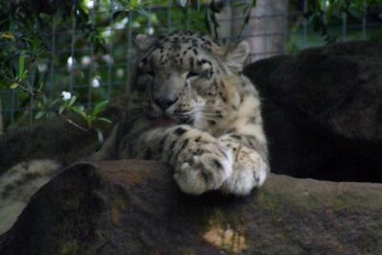 Sigue estos pasos para cuidar a tu leopardo de mascota.