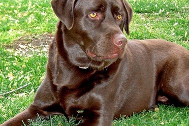 La salud, edad y nivel de actividad, afectan las necesidades nutricionales de un perro.