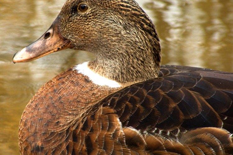 Los patos eider producen plumón cómodo.
