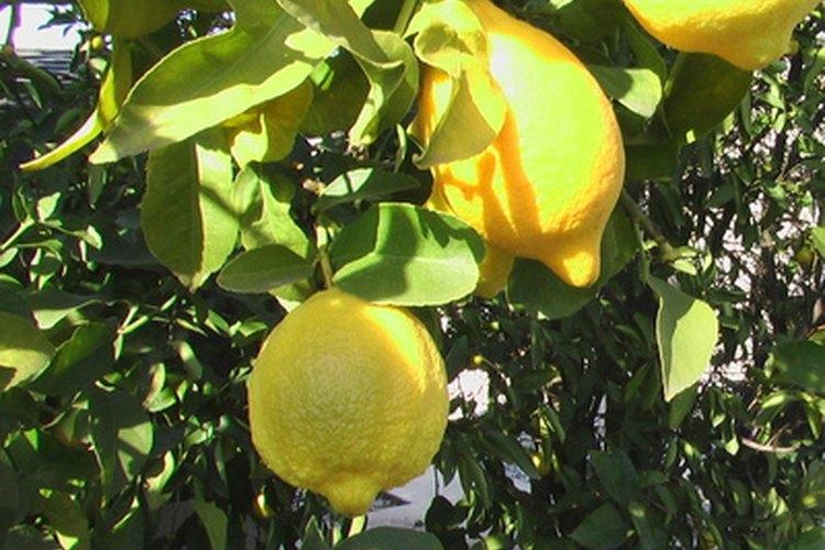 Por qué los árboles de limón pierden sus hojas de repente? |