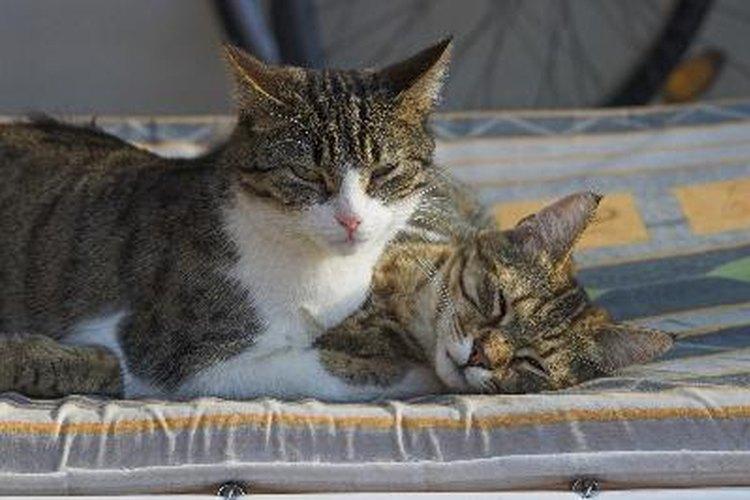 Para que tu gato se recupere de la insuficiencia renal, debes alimentarlo con comida hecha en casa.