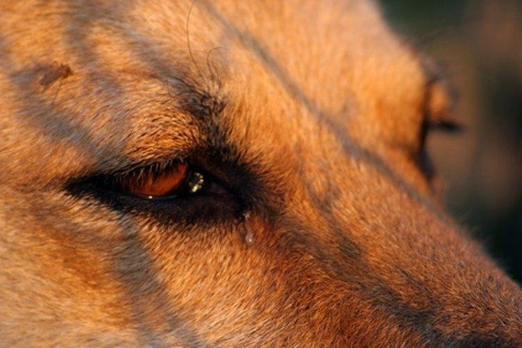 La secreción ocular se encuentra en el conducto del ojo.