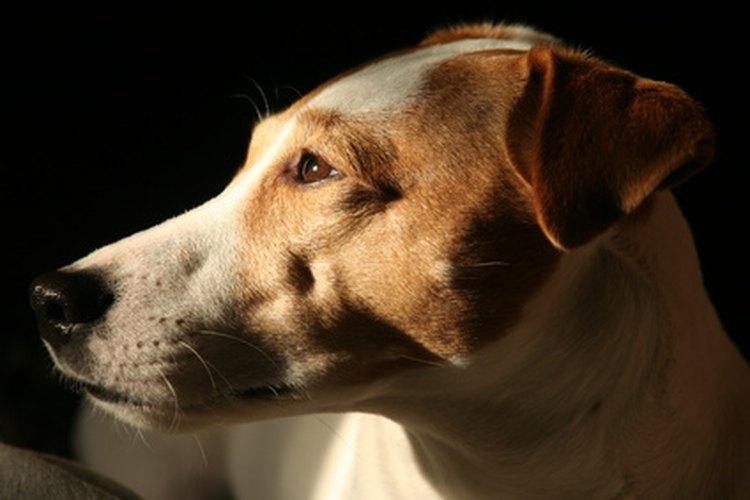 Los perros pueden perder su seguridad buscando a sus dueños para atención y cuidado constante.