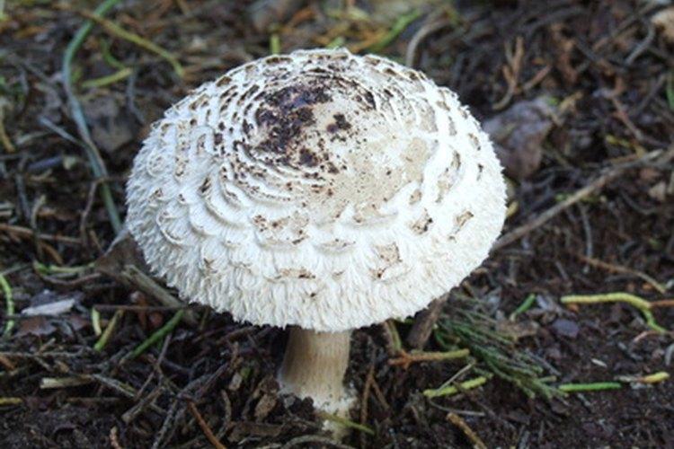 Tipos de hongos que crecen en el jard n for Hongos en el cesped jardin