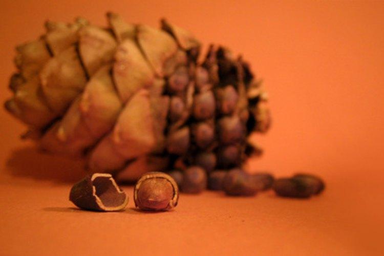 Semillas de cedro.