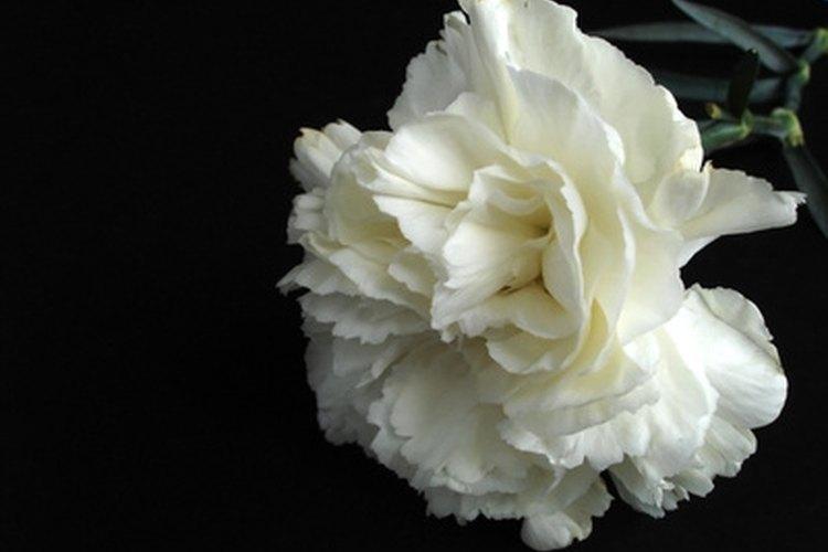 El clavel blanco tiene una rica historia.