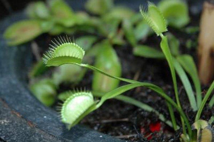 Después de la fertilización, las flores mueren.