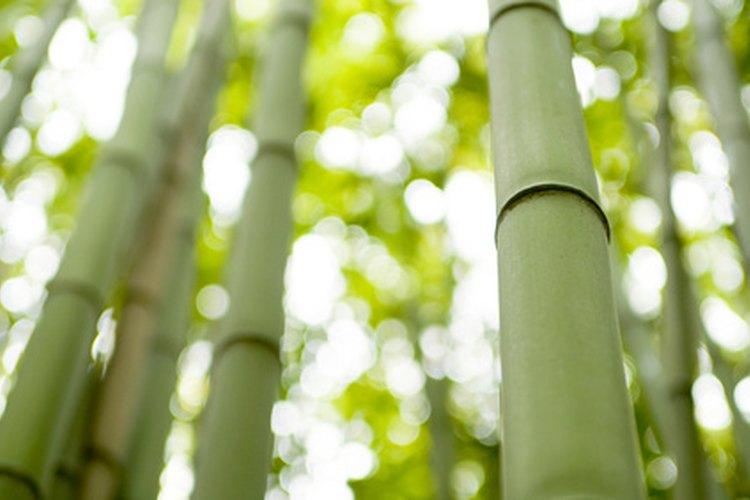 Se puede usar bambú para construir un domo geodésico.