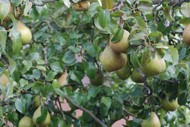 La poda es un elemento clave si se quiere que un viejo peral produzca fruta.