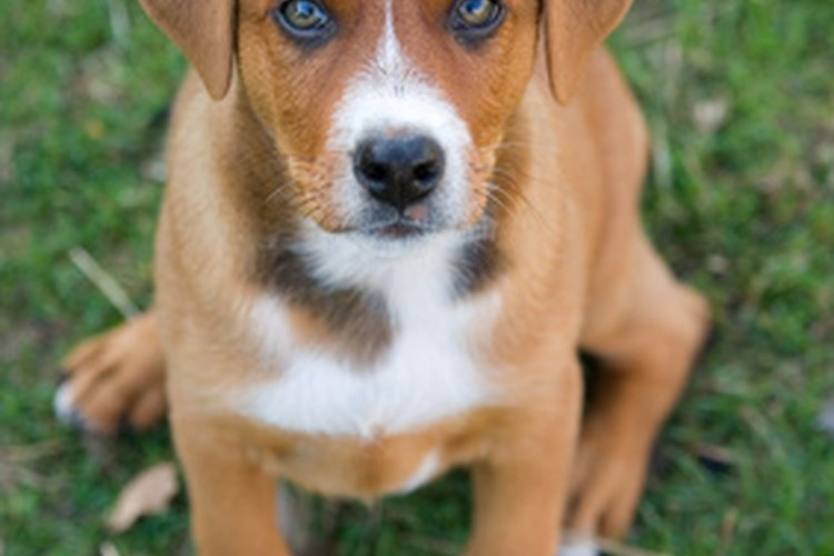 Las pulgas pueden causar manchas negras irritantes en la piel de tu perro.