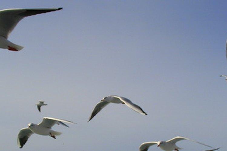 Aves pequeñas se convierten en parte de su dieta durante la temporada de apareamiento.