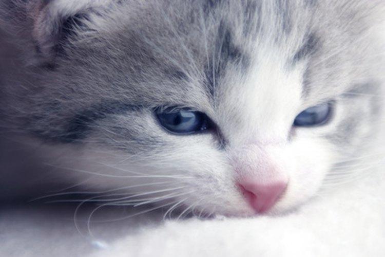 Los gatitos necesitan un cuidado delicado cuando contraen pulgas.