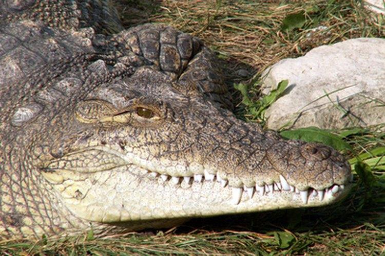 Los cocodrilos todavía poseen características que desarrollaron hace 200 millones de años.