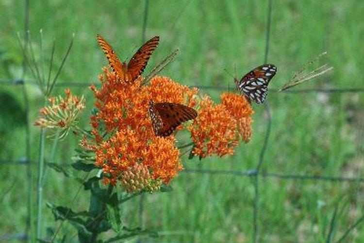 Hierba mariposa.