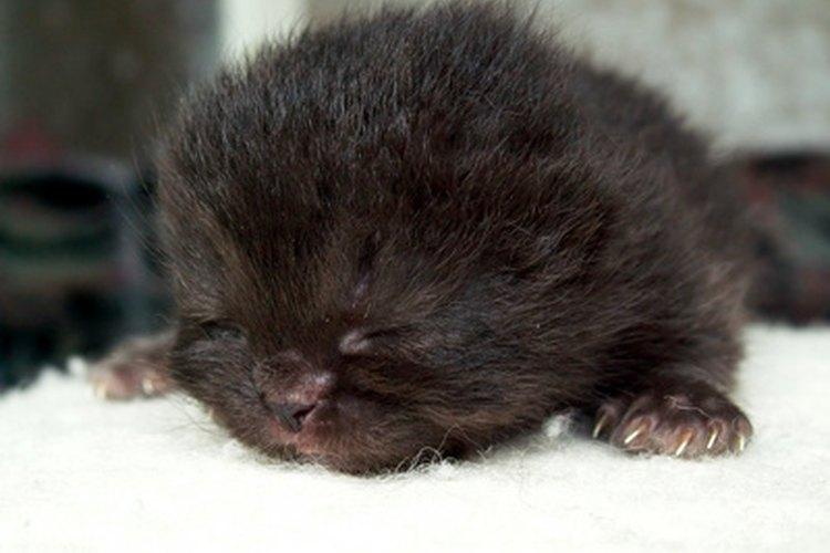 Una gata asilvestrada puede abandonar a sus gatitos si éstos son tocados por humanos.
