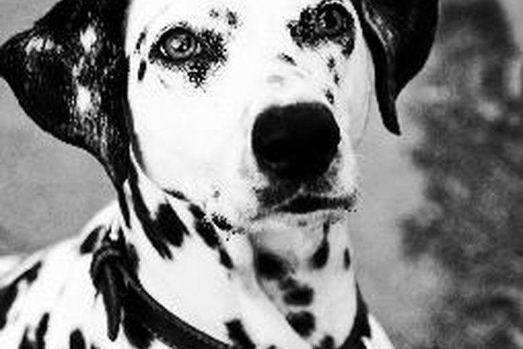 Los perros son esterilizados tan temprano como a las ocho semanas en algunos refugios.
