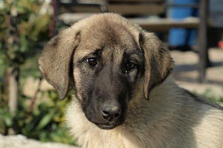 La detección de sangre en las heces de los perros puede variar desde unas pocos gotas rojas a unas pocas vetas de sangre en las heces.