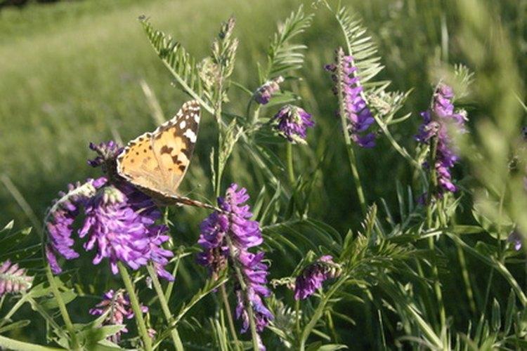 La oruga monarca es de tres colores y la virrey es de dos.