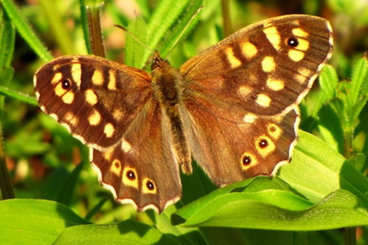 La mariposa monarca emigra y la virrey no lo hace.