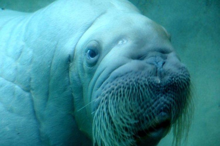 El nombre latino de la morsa, Odobenus rosmarus, significa vaca de mar caminando con los dientes.