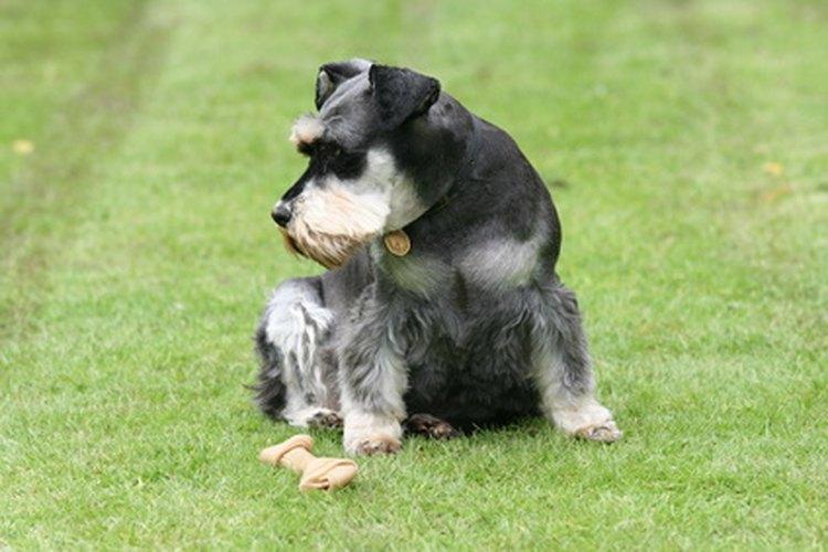 El schnauzer miniatura puede ser una mascota leal si se cuida debidamente.