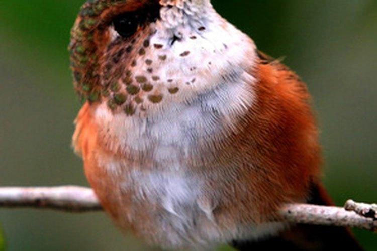 El largo pico del colibrí le permite beber de sus flores favoritas.