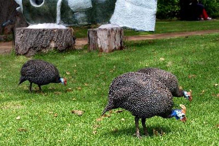 Si te gustan las gallinas de guinea puedes incubar sus huevos