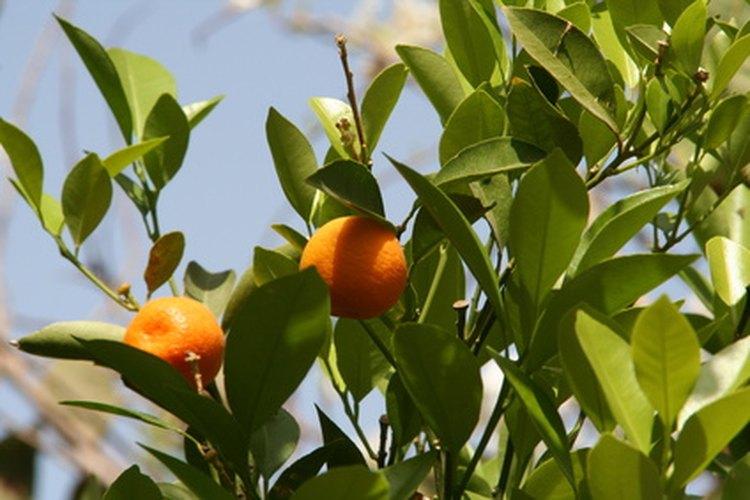 Árbol de naranjo.
