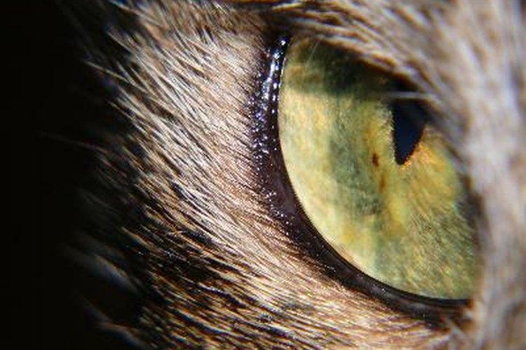 Compara la anatomía del ojo humano y del ojo del gato.