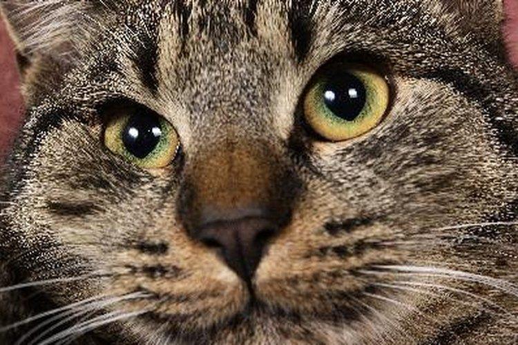 Los gatos te marcan con feromonas como una muestra de afecto.