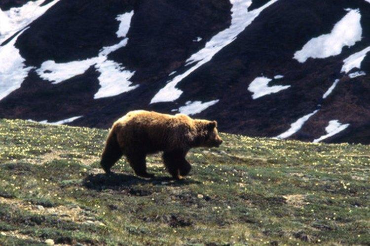 Los osos grises pasan la mayor parte del invierno hibernando en sus guaridas.