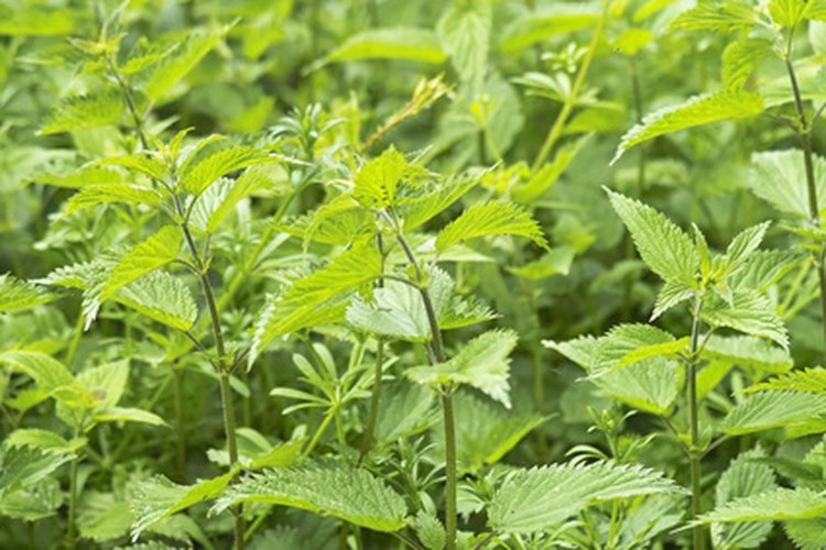 Segar y cultivar puede aumentar el tamaño de una población de ortiga.