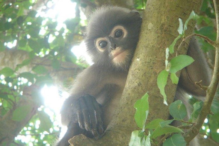 Los monos tropicales desarrollaron colas y brazos largos para moverse a través del dosel de la selva de manera segura.
