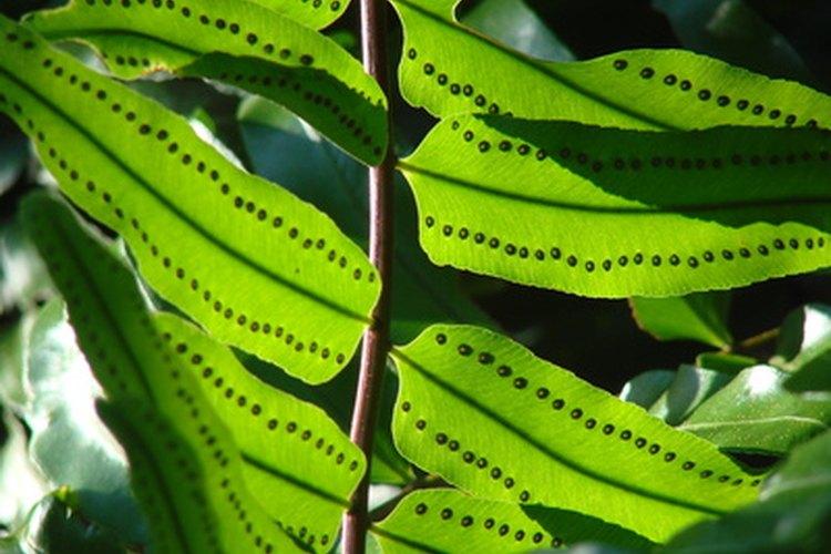 Las hojas de las plantas se ven verdes porque reflejan luz verde.