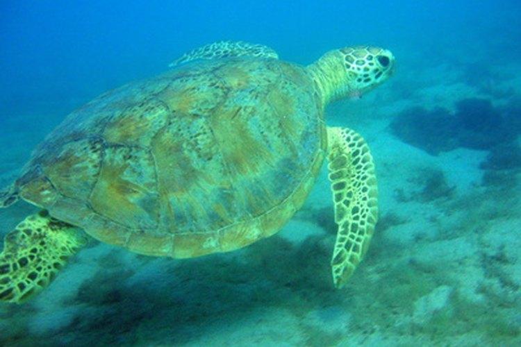 Mongabay reporta una disminución en las poblaciones de las tortugas del mar Caribe en un 99 por ciento en el 2006.