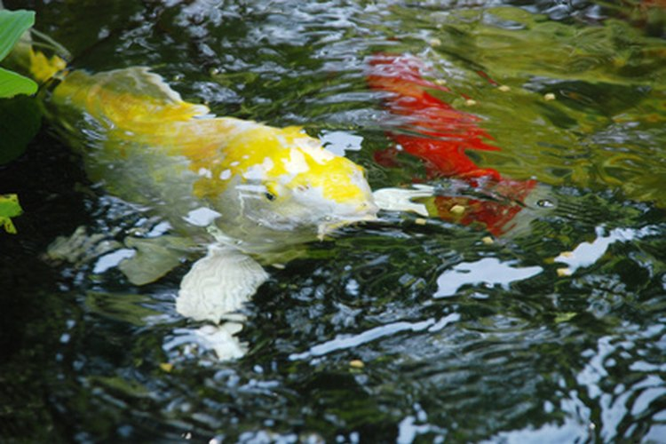 C mo se reproducen los koi en estanques de agua dulce for Fertilizacion de estanques piscicolas