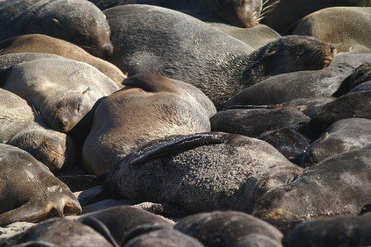 En alguna época, casi extinto, el lobo marino de la antártica ha experimentado un boom en su población.