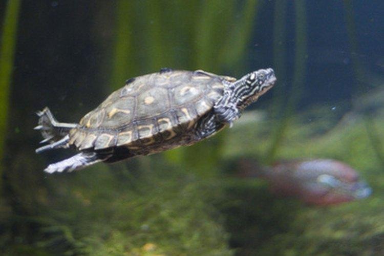 Las tortugas terrestres y las marinas son reptiles.