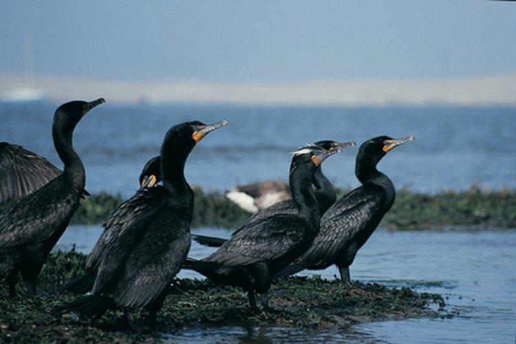 A los cormoranes de cresta doble les gustan los bagres channel.